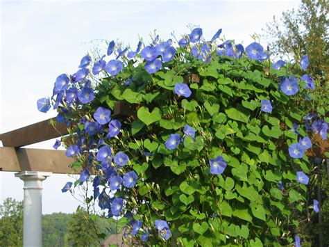 best climbing plants for arches 10 best flowering vines for arches pergola arbor and