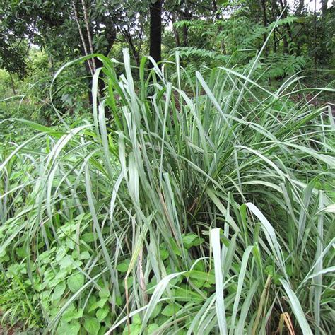 citronella grass seeds for sale 28 images citronella grass stock photos citronella grass