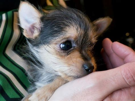short hair chichuachua yorkie mix what will puppies look like chihuahua yorkshire terrier mix photos thriftyfun