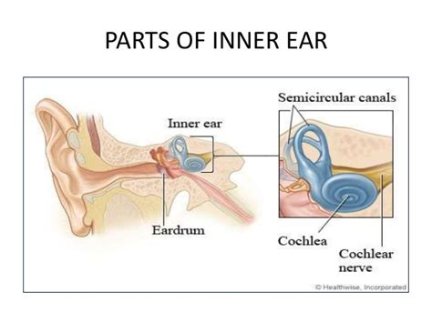 picture of the inner ear anatomy of the inner ear