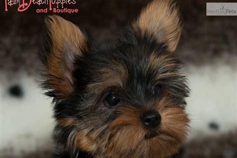 teddy bear cut for teacup yorkie yorkshire terrier yorkie puppy for sale near west palm