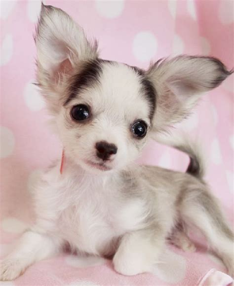 long hair chihuahua hair growth what to expect long haired teacup chihuahua puppies for sale zoe fans