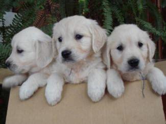 buy a golden retriever puppy uk golden retriever rescues uk photo