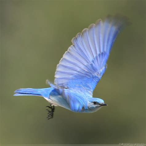 mountain bluebird nevada state birds pinterest