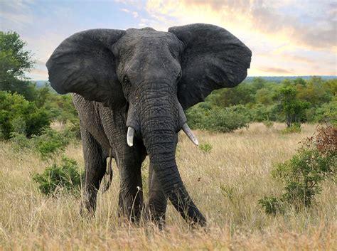 Wir Kaufen Dein Auto Fulda by Afrikanischer Elefant Foto Bild Tiere Wildlife