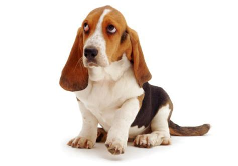 for dogs sake all about basset hound for dogs sake