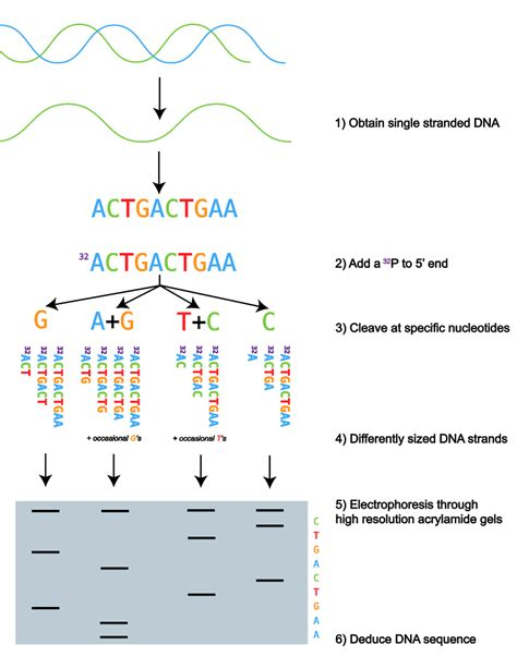 illumina sequencing animation dna sequencing uses