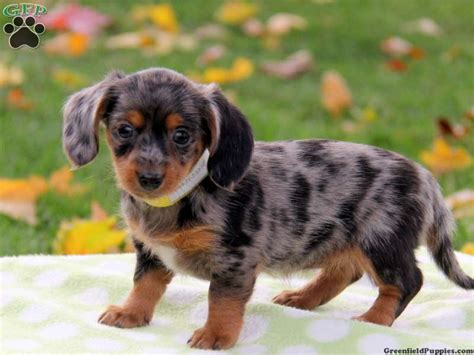 beagle dachshund mix puppies for sale we dachshund mix puppies for sale here at greenfield puppies perfection