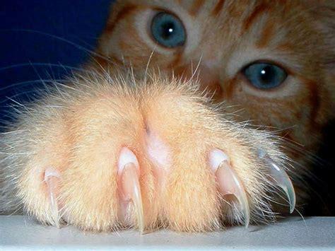 es la desungulacion en gatos paragatitos