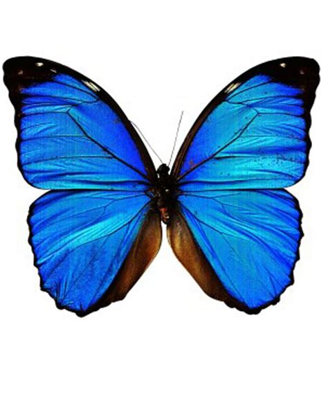 Butterfly Blue butterfly drawings with color blue