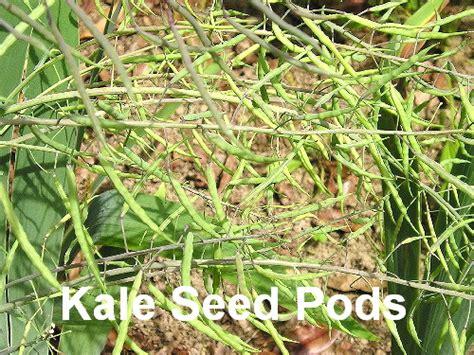 G Ci Sukey cherrygal kale lacinato organic heirloom seeds