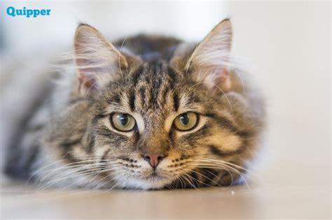 Apa Pendapatmu Kenapa Benda Jatuh fakta sains kenapa kucing tidak bisa jatuh terbalik quipper