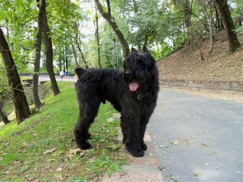bouvier dogs the bouvier a history of an intelligent athletic and loyal canine