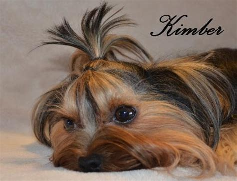 cloverdale yorkies 18 best images about our cloverdale yorkies on yorkie the o jays and