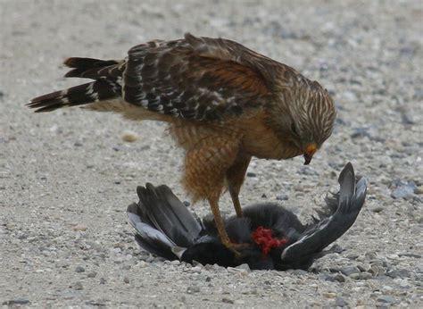Glodok Lb By A D Bird louisiana birds of prey identification all galleries
