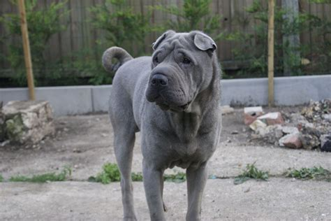 pictures of shar pei dogs blue shar pei for stud peterborough cambridgeshire pets4homes