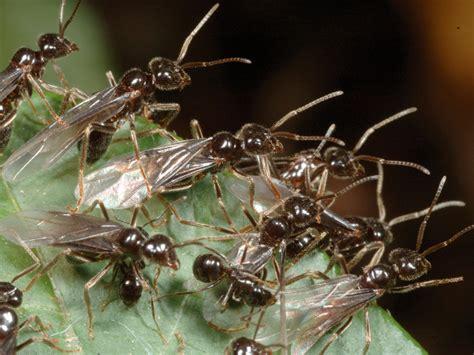 formiche volanti giardinaggio eliminare le formiche come si fa