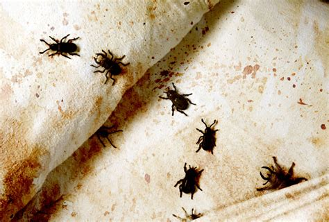detecting bed bugs how to detect and capture farting bedbugs