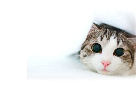 cat background cat white backgrounds wallpaper cave