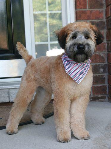wheaten terrier short hsir cut mickey s first real haircut flickr irish softcoated