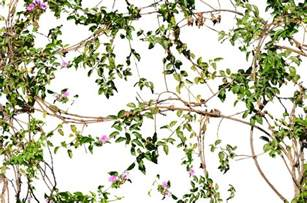 vines flowers growing on a wall stock photo 2 png by annamae22 on deviantart