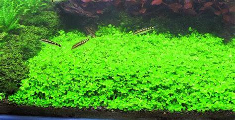 montecarlo on 5 x 3 mat easy foreground carpet aquarium