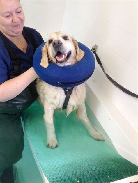golden retriever age progression pictures october study of the month hawksmoor hydrotherapy