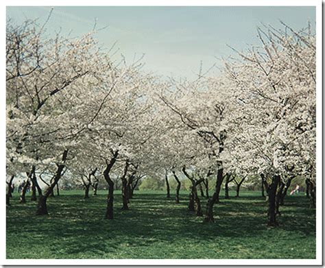 a cherry tree poem quot loveliest of trees quot a poem about the cherry tree with mp3 recording