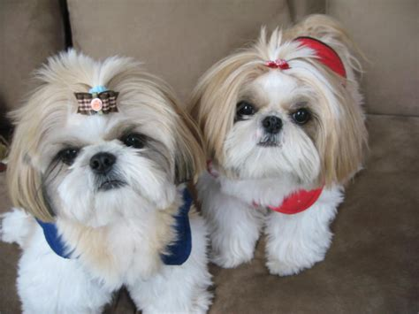 where did the shih tzu originate from shih tzu breed history and some interesting facts