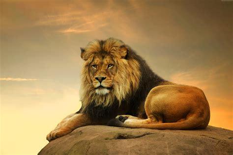 imagenes de animales salvajes en 4k wallpaper lion savanna cute animals animals 4506