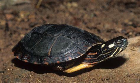 Turtles Shedding by Kingsnake Kingsnake Painteds On