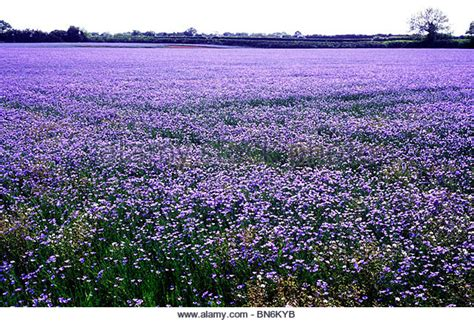 Blue Flower Crop linseed flax agricultural crop stock photos linseed flax agricultural crop stock