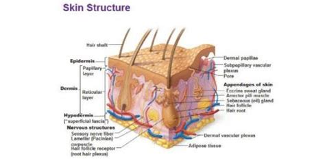 structure of the skin diagram labeled skin structure quiz proprofs quiz