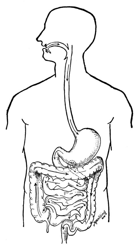 Digestive System Color Pages Digestive System Coloring Page Coloring Home