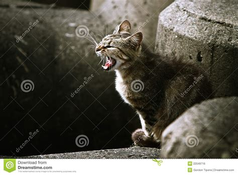 angry adult stray cat snarling stock photo image
