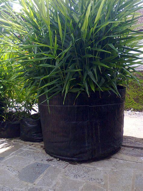 tanaman buah  pot tabulampot budidaya jahe merah