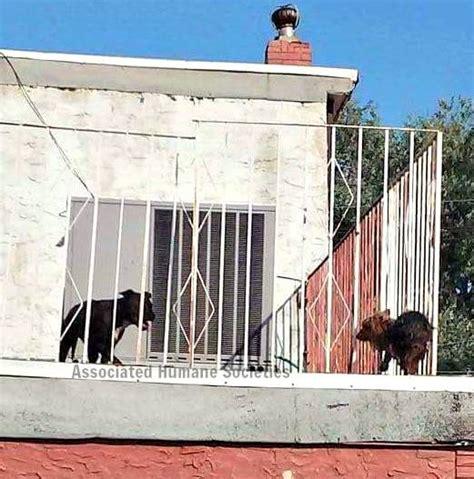 roof dogs the new york times diese ausgesperrten hunde tanzten auf einem dach in der