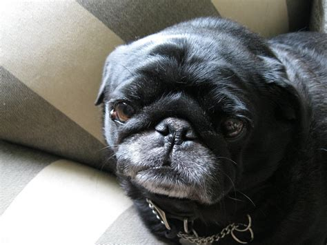 ugliest pug walking breeds picture