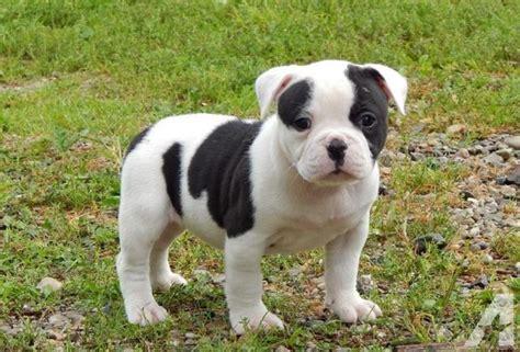 american bulldog puppies for sale in michigan american bulldog puppies for sale in carson city michigan classified