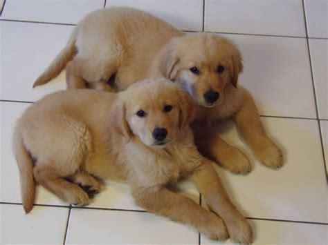 breeds similar to golden retriever free images golden retriever vertebrate labrador retriever breed