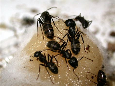 Big Black Ants In Kitchen by Are Ants In The Vegetable Garden A Bad Thing Veggie