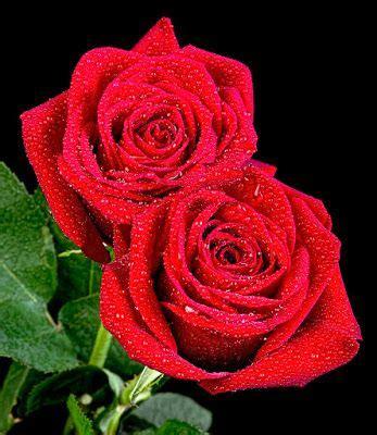 imagenes d rosas hermosas las fotos m 225 s hermosas de rosas de colores 16 im 225 genes