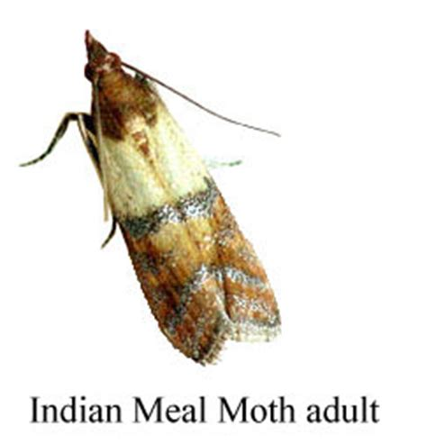indian meal moth cycle