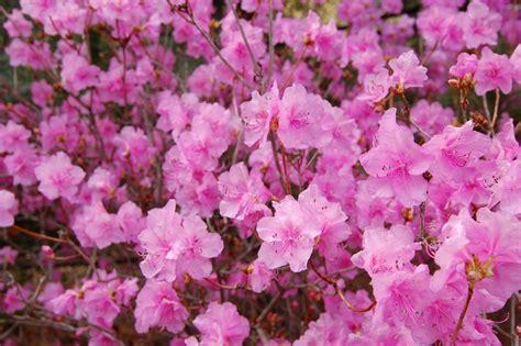Flowers Pink file korean rhododendron rhododendron mucronulatum