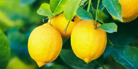 laporan praktikum membuat baterai dari jeruk lemon buah buahan asam ini ampuh turunkan berat badan dream co id