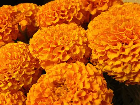 new year marigold flower marigolds day of the dead orange flower bouknight