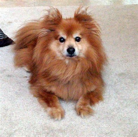 pomeranian cross breeds list pomeranian brussels griffon breeds picture