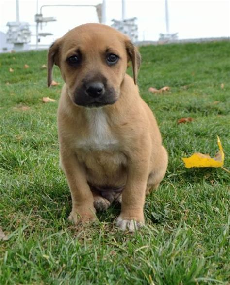 cur puppies for sale sweet labrador retriever mountain cur mix puppies craigspets