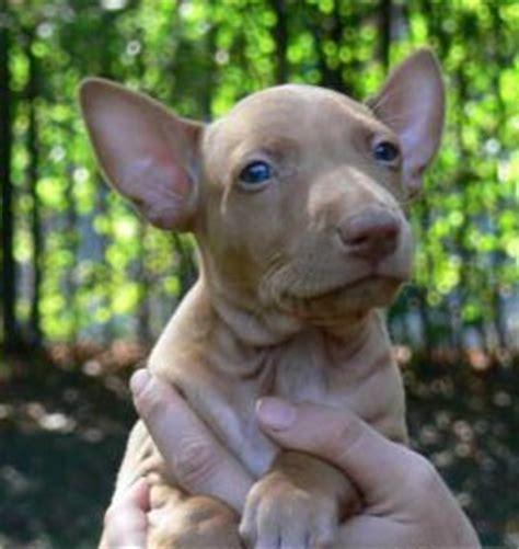 pharaoh hound puppies pharaoh hound puppy picture