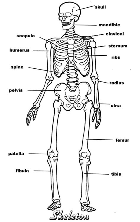 detailed skeletal system diagram resources